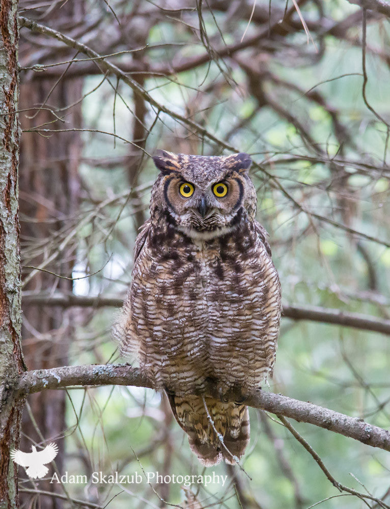 The Great horned stare! - Adam Skalzub Photography