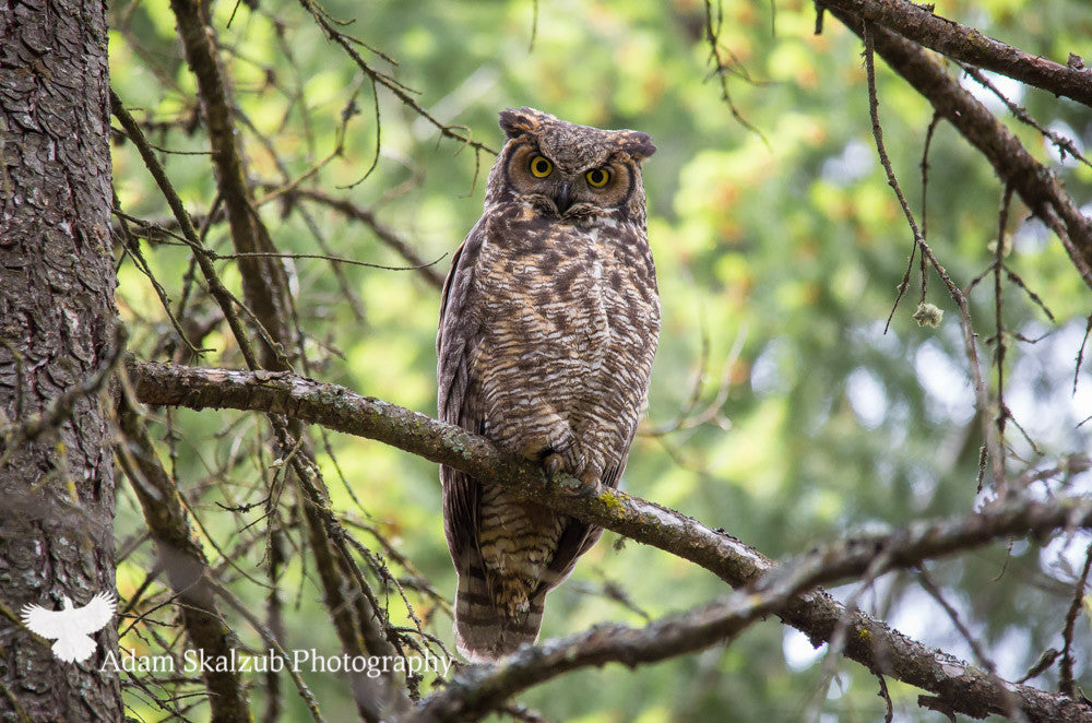 Great Horned Owl - Adam Skalzub Photography