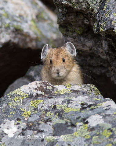 Pika-BOO! - Adam Skalzub Photography