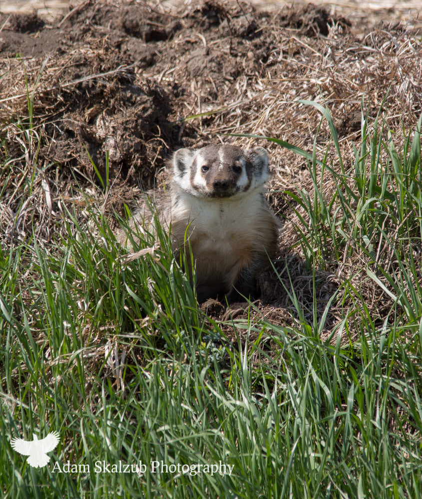 Prairie Badger! - Adam Skalzub Photography