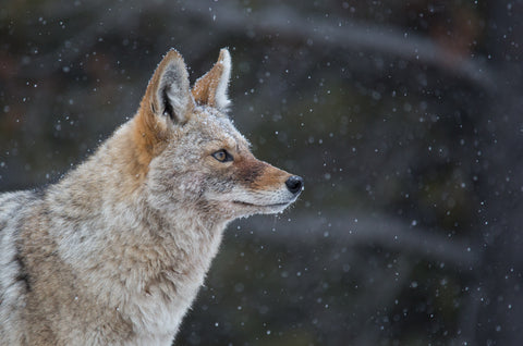 Rocky Mountain Coyote - Adam Skalzub Photography