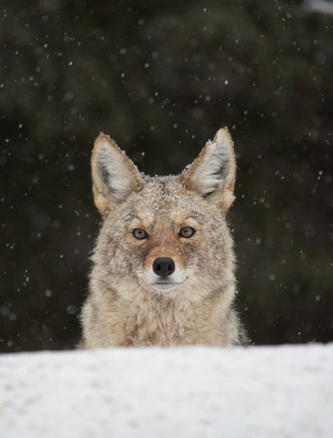 Rocky Mountain Coyote 2 - Adam Skalzub Photography