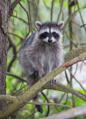 Young Raccoon - Adam Skalzub Photography