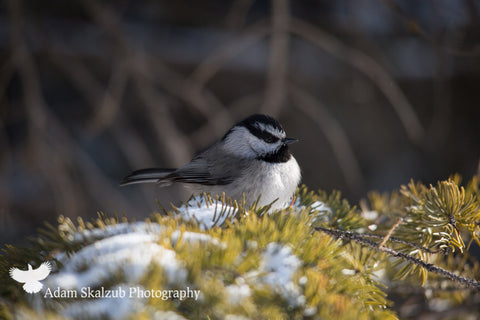 Mountain Chickadee - Adam Skalzub Photography