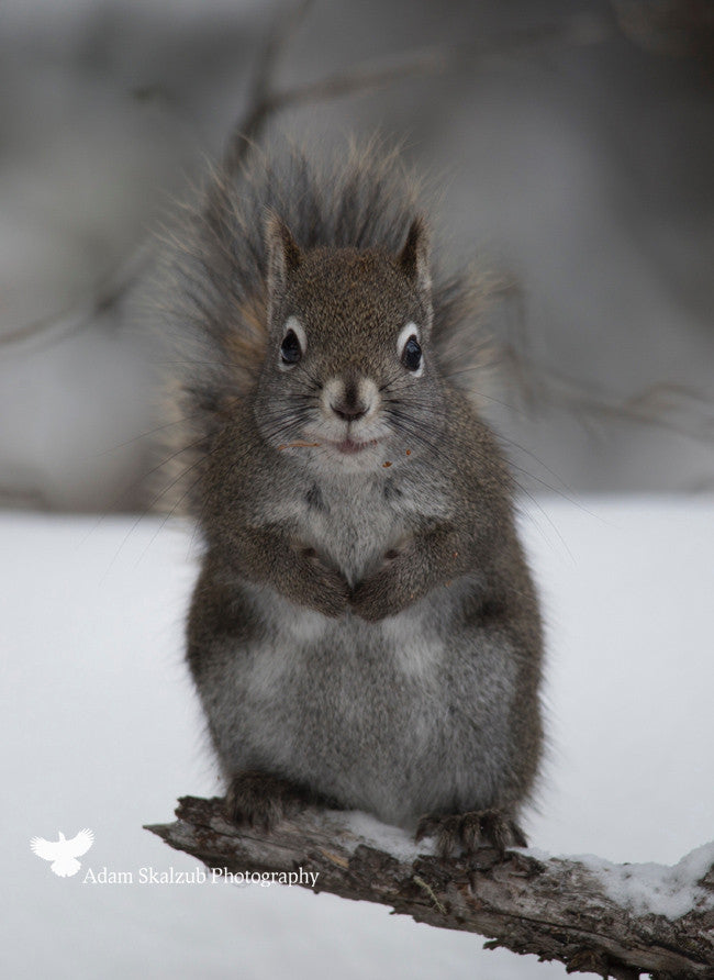 Sumo Squirrel - Adam Skalzub Photography