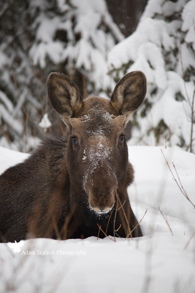 Frosty Moose calf - Adam Skalzub Photography