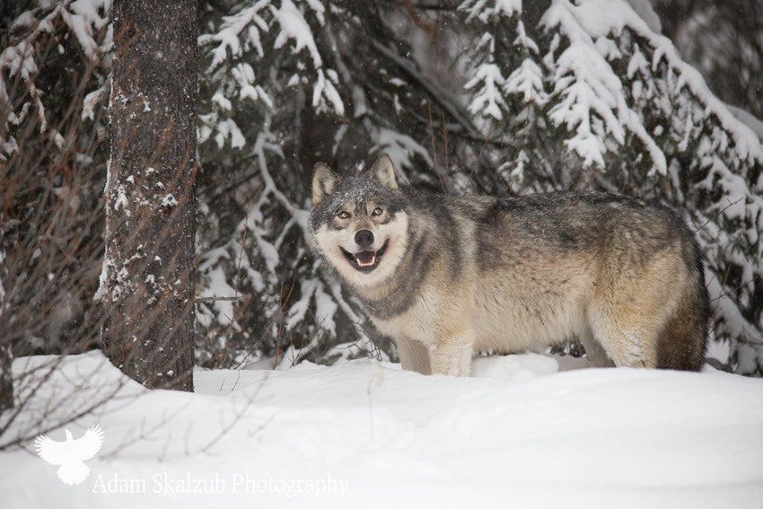 Smiling Timber Wolf - Adam Skalzub Photography