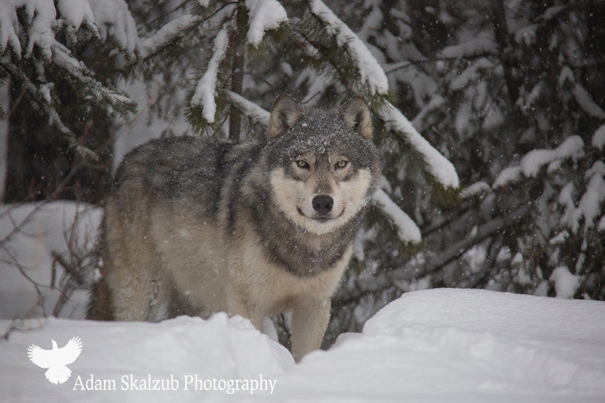 Snow Wolf - Adam Skalzub Photography
