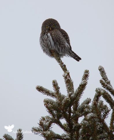 Pygmy Owl - Adam Skalzub Photography