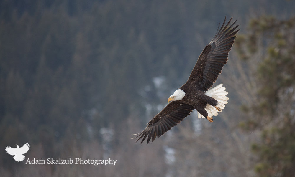 Fly like an Eagle - Adam Skalzub Photography