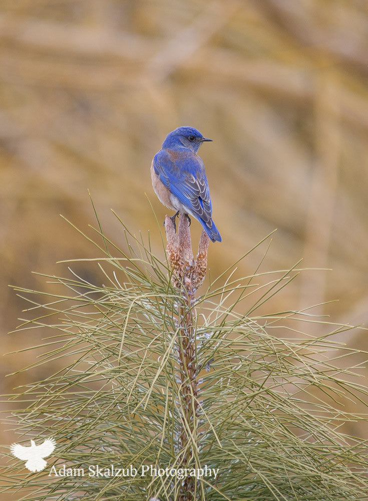 Western Bluebird.. - Adam Skalzub Photography