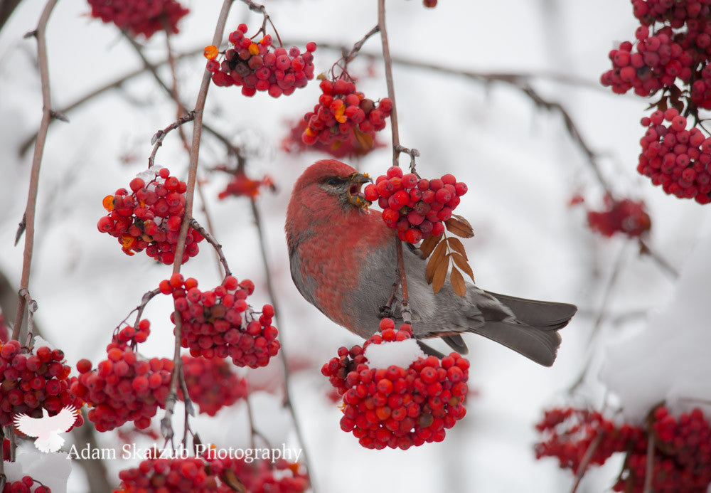 Winter Berry snack! - Adam Skalzub Photography