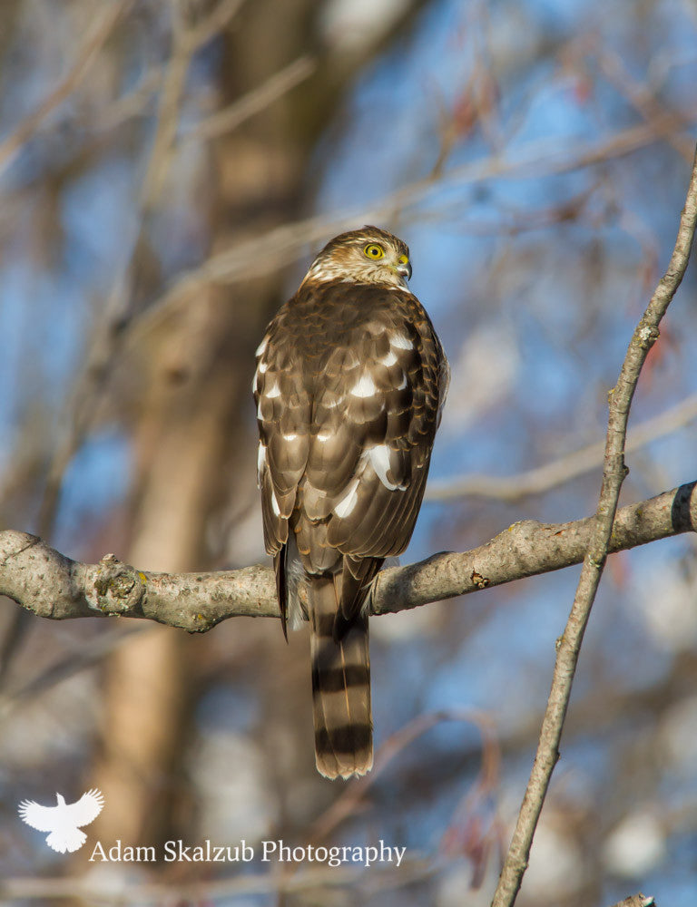 Sharp shinned Hawk - Adam Skalzub Photography