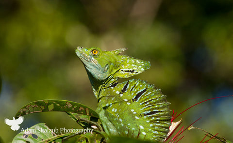 Emerald Basilisk - Adam Skalzub Photography