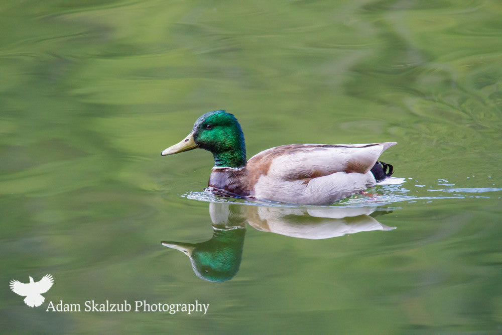 Mallard reflection - Adam Skalzub Photography