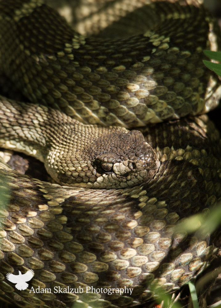 Northern pacific Rattlesnake - Adam Skalzub Photography