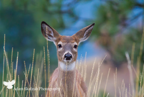 Young Mule Deer - Adam Skalzub Photography
