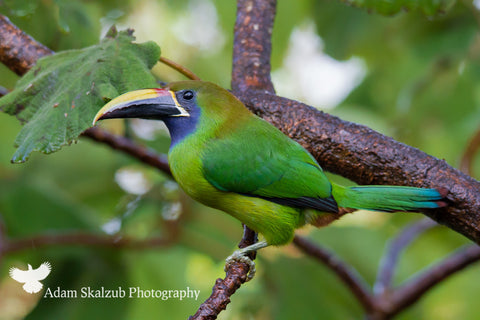Emerald Toucanette - Adam Skalzub Photography