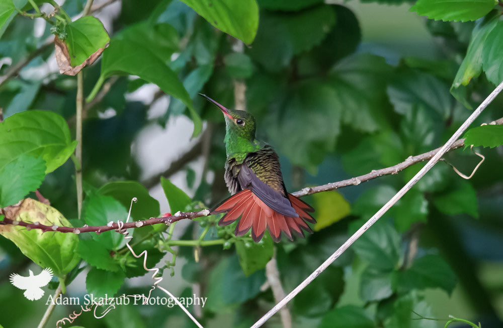 Rufous-tailed Hummingbird - Adam Skalzub Photography