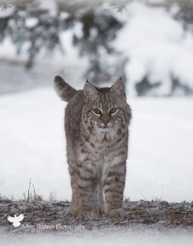 Wild Canadian Bobcat - Adam Skalzub Photography
