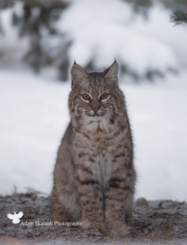 Wild Canadian Bobcat 2 - Adam Skalzub Photography