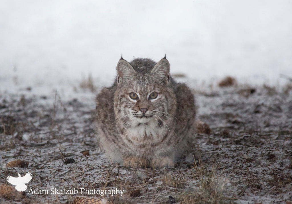 Wild Canadian Bobcat, crouched - Adam Skalzub Photography