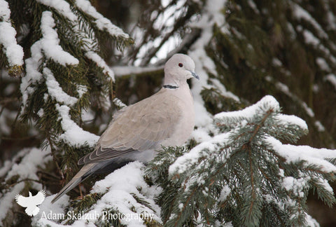 Winter Dove - Adam Skalzub Photography