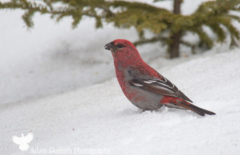 Pine Grosbeak - Adam Skalzub Photography