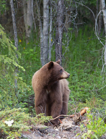 Brown Bear in The Woods - Adam Skalzub Photography