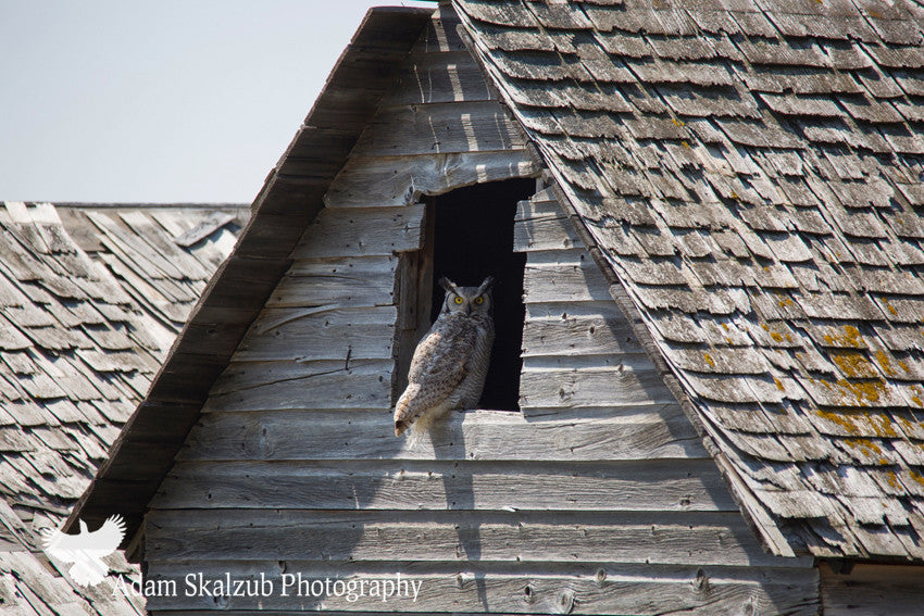 Great horned Owl in an Abandoned Barn - Adam Skalzub Photography