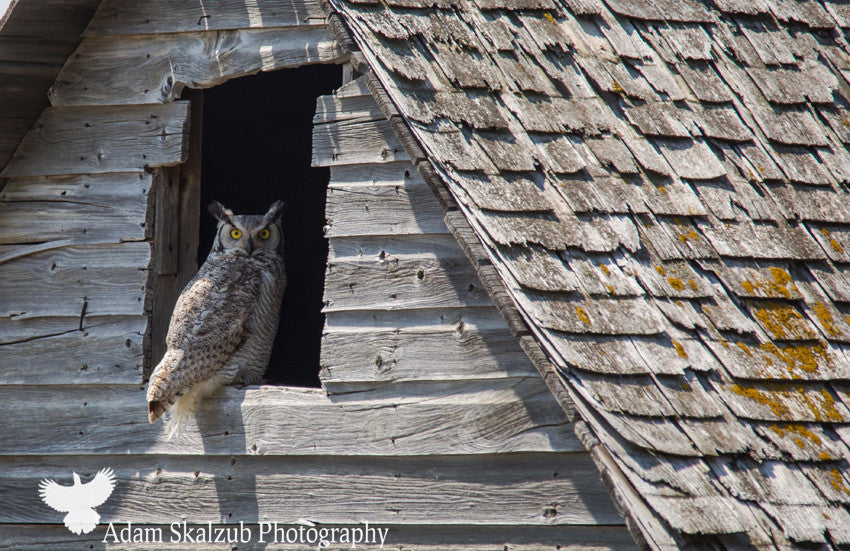 Great horned Owl in an Abandoned Barn, closeup - Adam Skalzub Photography