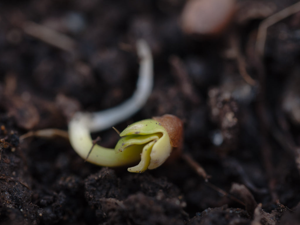 Growup vertical farming | radish seed sprouting through the soil