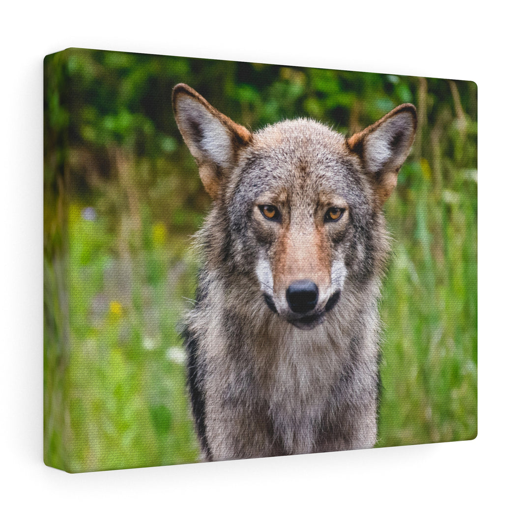 Kilarney Park Wolf Canvas Wrap