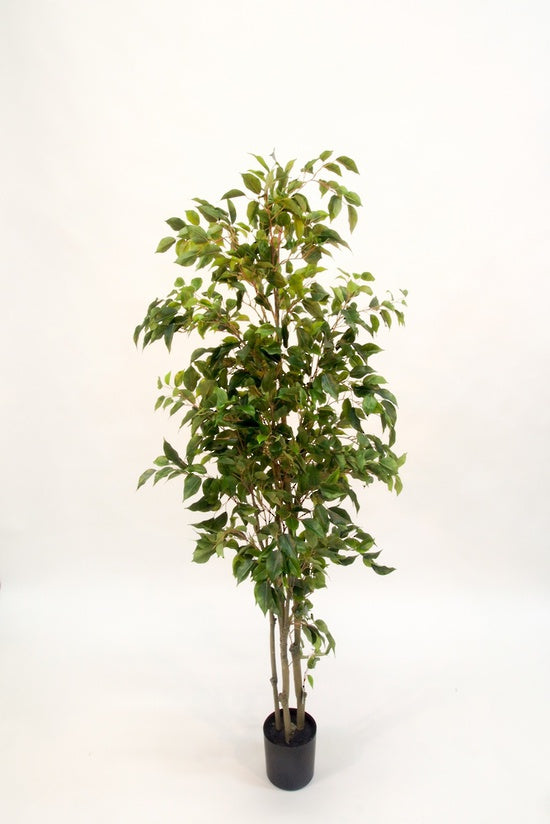 Potted ficus 1.5m