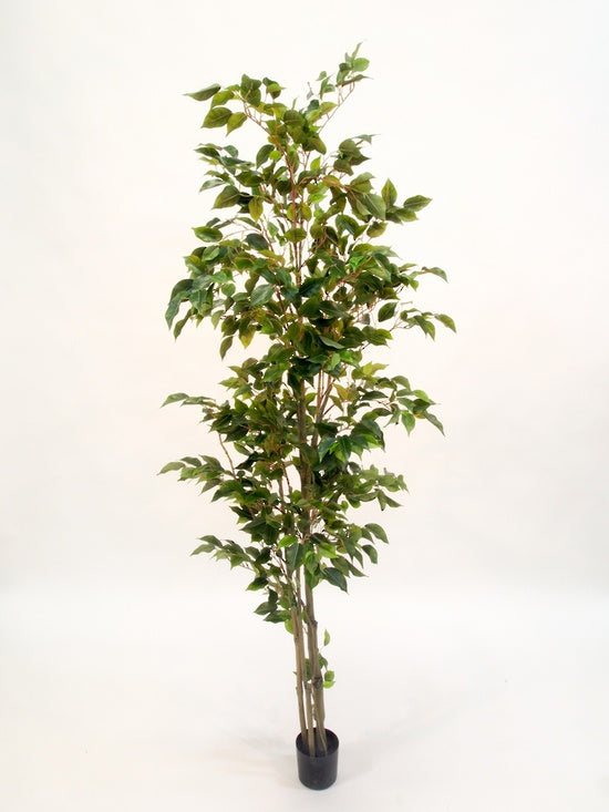Potted ficus 1.8m