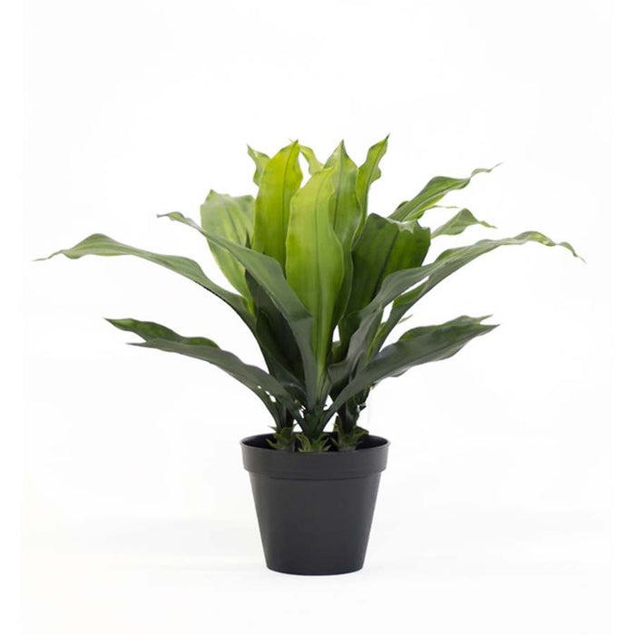 Potted Dracena Plant – 500 mm