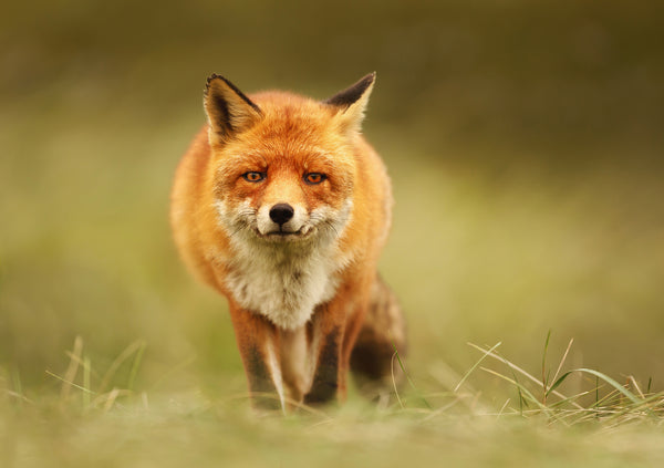 The relationship between foxes & wheelie bins