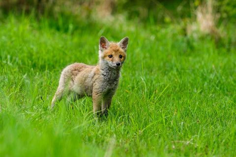 a red fox in the grass