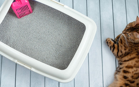 A cat litter box with a pink scoop located on a painted wooden floor next to a bengal cat