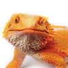 Safari Ltd Bearded Dragon - extra large - AnimalKingdoms.co.nz