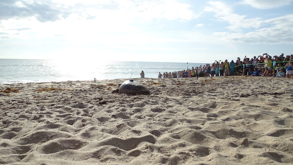 Lulu's release! See our loggerhead turtle starting her journey