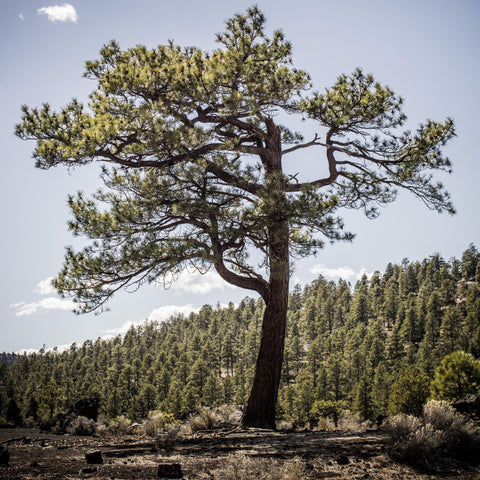 Colorado Pine No. 236