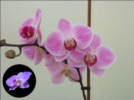 "10"" x 7.5"" Orchid Flower Cake Toppers Decorations on Edible Wafer Rice Paper"
