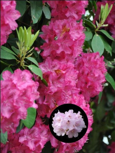 "10"" x 7.5"" Rhododendron Flower Cake Toppers Decorations on Edible Wafer Rice Paper"