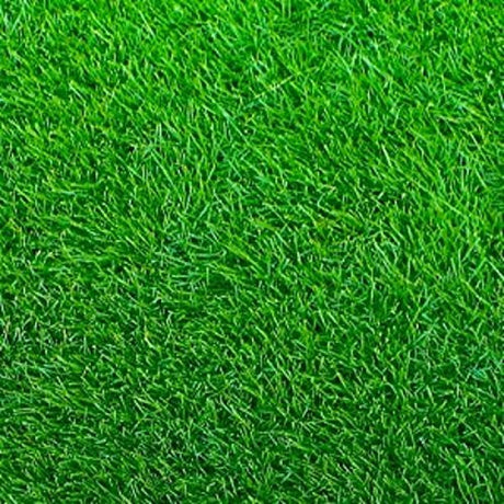 Emerald Zoysia (Zoysia Emerald) grass seeds-1/8 lb ...