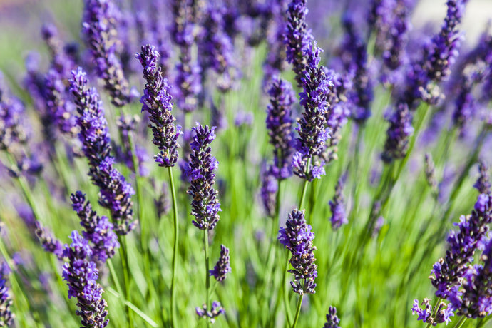 Lavender Dreams Ultimate Experience