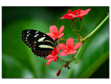 Atthis Longwing Butterfly (Aluminum Print - No Frame)