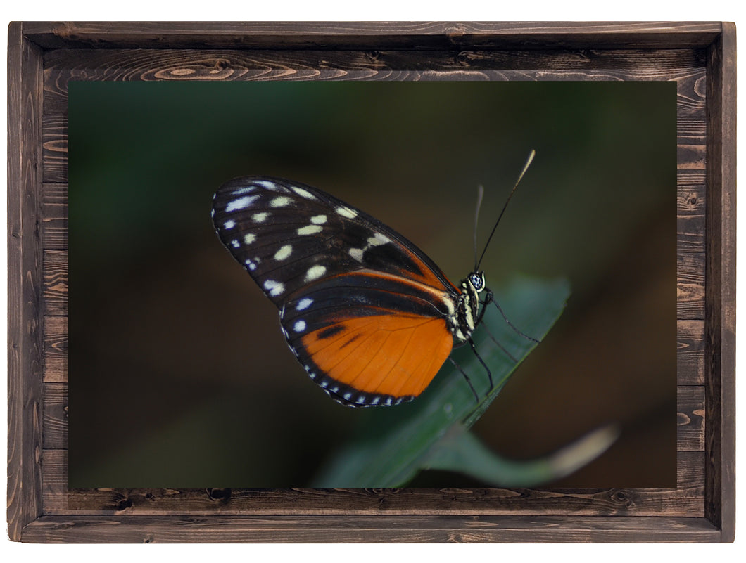Tiger Longwing Butterfly (Modern Rustic Floating Art Print with Hidden Storage for Jewelry)