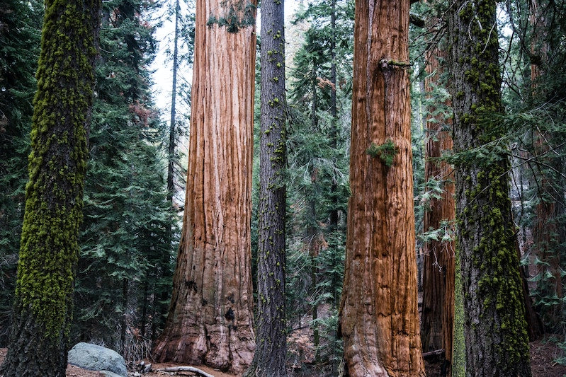 Towering sequoia trees