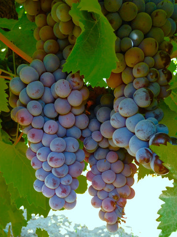 Black Muscot Grapes